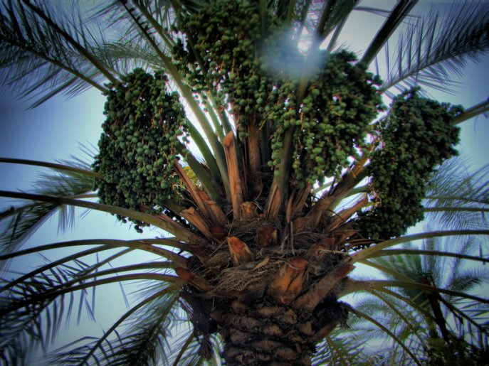 palm_with_dates_by_ahmed_alsamraee-d3jffh2