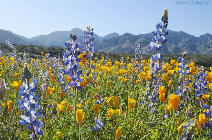 wpid-wildflowers-catalina-sp-tucson-05-11.jpeg