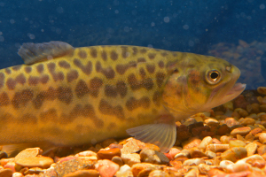 Tiger trout are being raised at the Tonto Creek Hatchery and are scheduled to be stocked into select Arizona high country waters this spring.
