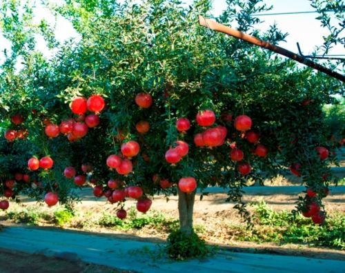 Pomegranate is One of the Healthiest Fruits On OurPlanet