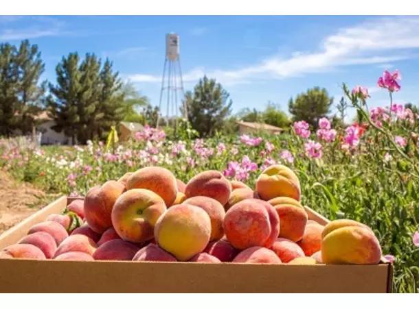 original_schnepf-farms-peach-festival